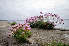Sea-pinks on the pier (delexical) Tags: flowers ireland flower galway stone wall pier harbour connemara shore seashore gaillimh conamara seapinks rosamhl cibh wildatlanticway slanatlantaighfhiin baileantslibhe ninncladaigh caorgmhara cuancasla rossaveelgalwaybay