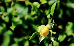 Tribute VIII (time_anchor) Tags: flowers roses yellowflower rosebuds yellowrosebuds