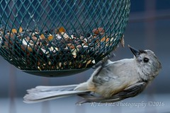Titmouse 2 (kevnkc2) Tags: county bird franklin spring nikon pennsylvania contemporary sigma tuftedtitmouse lightroom chambersburg d610 stdntsdoncooper 150600mm 150600f563