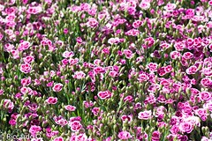 _DSC9211.jpg (Riccardo Q.) Tags: macro fiori fiore altreparolechiave floreka