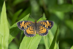Butterfly 2016-65 (michaelramsdell1967) Tags: light orange sunlight detail macro green love nature animal animals closeup forest butterfly bug garden insect photography hope spring woods focus natural small butterflies insects bugs zen tiny upclose