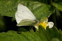 Koolwitje (Omroep Zeeland) Tags: vlinders