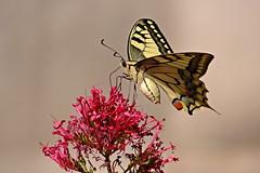 Delicacy - Avec dlicatesse (GCau) Tags: france butterfly papillon provence valerian machaon valeriane gecau