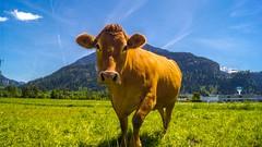 DSC07567 (eliazar.dominantez) Tags: mountains animal animals schweiz switzerland cow suisse meadow valley helvetia svizzera svizra