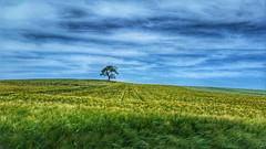Endless summer (RainerSchuetz) Tags: summer agriculture field bluesky rural cornfield appletree hill explore explored