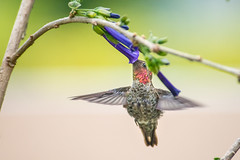 Anna's Hummingbird Drinking Sap from Iochroma (Royal Blue), Lake Merritt, Oakland, California (takasphoto.com) Tags: alamedacounty america animal animalia anna annas annashummingbird ave bayarea berkeley bird birding california californiastate eeuu earth eastbay estadosunidos fögler hummingbird lagoon lakemerritt nationalregisterofhistoricplaces nature norcal northamerica northerncalifornia oakland oiseau outdoor portofoakland rotarynaturecenter sfbayarea sfbay sanfrancisco sanfranciscobayarea sustainability tidallagoon usa usオークランド unitedstates unitedstatesofamerica westcoast westoakland wild wildlife world калифорния окленд אוקלנד أوكلاند اوکلند アメリカ合衆国 アメリカ大陸 アラメダ郡 イーストベイ オークランド カリフォルニア サンフランシスコ トリ