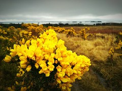 Connemara gorse fields, Lough Corrib at the back (Vratsagirl) Tags: flowers ireland plant galway field landscape outdoor connemara gorse loughcorrib