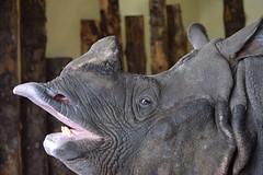 Rhino (nodb652) Tags: zoo edinburgh rhino edinburghzoo
