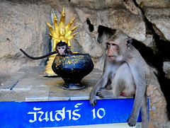 ,, Baby in a Bowl ,, (Jon in Thailand) Tags: blue gold monkey nikon 10 buddha tail bowl jungle cave nikkor primate d300 babymonkey 175528 babyinabowl