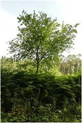 ghltal 299 (beauty of all things) Tags: trees fern belgium bume farn belgien raeren ghltal klikert