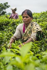 Srimangal-6272 (BohemianTraveler) Tags: asia tea bangladesh srimangal srimongol sreemangal