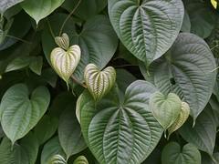 Hearts (bamboosage) Tags: lens 45 50 enlarger schneiderkreuznach componar