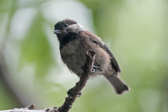 Scruffy (martytdx) Tags: sanfrancisco ca birds birding july chickadee fishermanswharf songbird chestnutbackedchickadee poecilerufescens poecile paridae