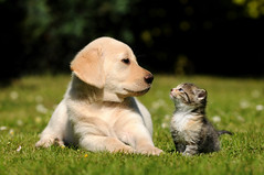 Dog and cat (monicayeei) Tags: dog cat kitten pet cute friends labrador outdoor animalfriends meadow canislupus two 2 sitting kitty grassland catkin felis funny young homecat shorthair littlecat puppy animal lovely friendship canine feline lying dogs cats love best sweet