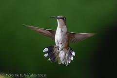 Fight stance (dbifulco) Tags: rthu bird flight flying nature newjersey nikkor300f4pfed phlox rubythroatedhummingbird wildlife yard