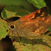 Woodland Skipper - Ochlodes sylvanoides, St. Stephen's Church, Saanichton, British Columbia