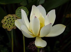 White Lotus Bloom (tresed47) Tags: 2016 201608aug 20160805longwoodflowers canon7d chestercounty content flowers flowerscontent folder longwoodgardens lotus otherkeywords pennsylvania peterscamera petersphotos places takenby us