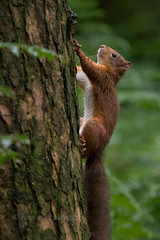 Red Squirrel (kfjmiller) Tags: 150600mm 2016 aberfoyle animal august birds forest nature nikon nikond610 outdoors queenelizabethforest redsquirrel squirrel tamron thelodge trees wildlife wood