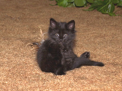 Yoda with Tailfeathers (dblees) Tags: cat gato chat kitty  koka kat kissa katze gatto kot pisic maka katt  kedi con mo       gata