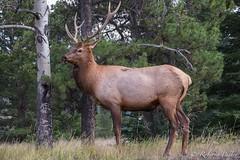 Wapit o ciervo canadiense (robertopastor) Tags: amrica canada canadianrockiesmountain canad fuji jasper montaasrocosas robertopastor viaje xt1 xf100400 wapit ciervo canadiense