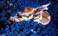 Shrimps and Crabs - Philippines 05-2016 (Eitan Ben Tsvi) Tags: philippines anilao dumaguete underwaterphotography diving nature macro sonya6000 sonya6300 sonya6500 underwater water fish ocean sea scuba animal wildlife aquarium animals blue jellyfish shark coral adventure travel beach easydiveleo3wi sony90mm 60mm nudibranch frogfish seahorse seaturtle nationalgeographics shrimps crabs
