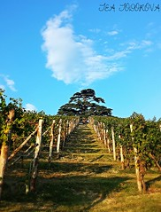 20161002_180238 (teatodorova) Tags: three green blue sky vineyards vigneti verde paesaggio cedro albero nature natura cielo langhe italia italy unesco