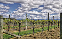 287 365 Next years wine (friiskiwi) Tags: hope tasman newzealand nz