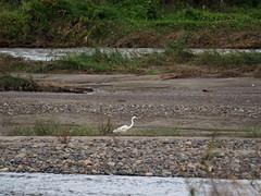 Great egret () (Greg Peterson in Japan) Tags: yasugawa rivers egretsandherons ritto wildlife japan birds shiga shigaprefecture jpn