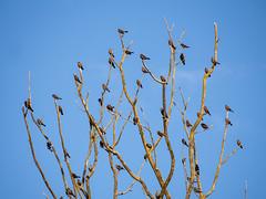 tree of blackbirds and a few starlings I (bluesywaters) Tags: bird oregon brewers starling blackbird sauvieisland redwingedblackbird