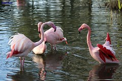 002 flamingo washing (modekopp i am some time on photo hunting) Tags: untitled pikture foto amazingpictures amazingshots photographer flamingo wasser water bird vogel fotografie photographs photography photo amazinganimal amazinganimals colorfulnature canoneos70d 70danimals tierparkaachen schnappschuss shot animalphotograph tierfotografie naturalphotoes naturphotoes amazinganimalphoto