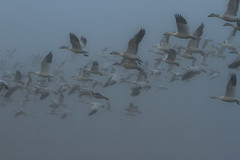 Snow Geese (Chen caerulescens) in the Fog (Atascaderocoachsam) Tags: birdsinflight birdwatcher snowgoose droh mercednationalwildliferefuge dailyrayofhope