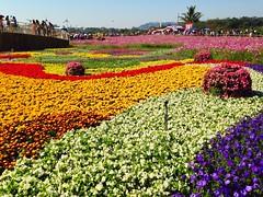 Flowers,Plants & Garden Blue Sky at 新社花海