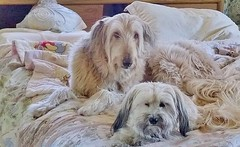 SaturdayMorning (Sedona Clearing House) Tags: dog pets love dogs jack bed joey pair blonde blankets