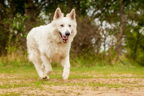 "White Shepherd • <a style=""font-size:0.8em;"" href=""http://www.flickr.com/photos/56274740@N08/15824114451/"" target=""_blank"">View on Flickr</a>"