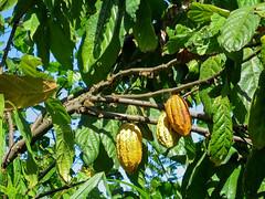 20080922-IMG_2469-bali_munduk-cacao (Milkseb) Tags: bali indonesia indonesie cacao munduk
