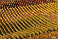Vineyards (ACREMAR) Tags: autumn colors landscapes via vineyards autunno vignoble colori weinberg langhe panorami vigneti acremar
