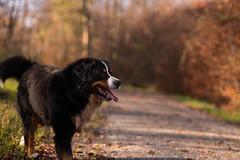 Bokeh (Alexander J.) Tags: dog chien tiere nikon details hund bernesemountaindog johann d800 bernersennenhund 2014 highress buvierbernoise sigma85mm14dghsm