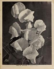 n8_w1150 (BioDivLibrary) Tags: flowers newyork gardening seeds newyorkstate catalogs perennials nurserystock equipmentandsupplies nurserieshorticulture bulbsplants mertzlibrarythenewyorkbotanicalgarden bhl:page=45208012 dc:identifier=httpbiodiversitylibraryorgpage45208012 boddingtonarthurtfirm sweetpeasnowflake bhlgardenstories bhlinbloom