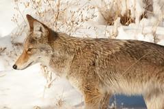 Coyote (mhawkins) Tags: coyote