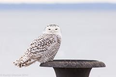 Owl on a Grecian Urn (rdroniuk) Tags: birds owl raptors owls birdsofprey oiseaux snowyowl hibou rapaces buboscandiacus harfangdesneiges oiseauxdeproie hiboublanc snowyowlirruption