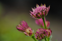 Lady in Waiting (Explored) (tormod_l) Tags: california pink macro green closeup happy colorful bokeh pastels attractive mendocino flowersplants interestingcontrast