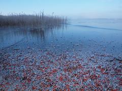 Red Beach  -  rowan berries on the lake (Axiraa - back very soon) Tags: winter lake ice water frost estonia berries rowan 4winter luik mountainash järv jää sorbusaucuparia pihlakas saadjärv tartumaa vanagram äksi