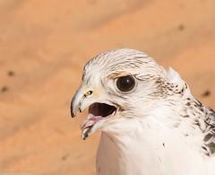 8Q2A1309_DxO (maskirovka77) Tags: dubai desert hunting beak raptor owl falcon hood sharjah unitedarabemirates falcons raptors avian barnowl hunt birdsofprey lure birdofprey falconry talons natureconservancy stooping falconeer peregrinefalcon gyrfalcon pergrine falconexperience alshuwaib arabiandeserteagleowl royalshaheen clawsarabiandeserteagleowldubainatureconservancypergrineraptorsroyalshaheenbirdofpreybirdsofpreyfalconfalconexperiencefalconsowlraptoralshuwaibsharjahunitedarabemirates