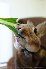 IMG_0881j (Rabbit's Album) Tags: pets cute rabbit bunny animals  choco   minirex    canonx7i x7i