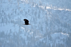 Bald Eagle in December 2 (LongInt57) Tags: blue trees winter brown white snow canada black mountains nature birds yellow forest grey flying wings bc okanagan wildlife gray bald hills eagles raptors