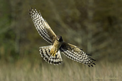 Northern Harrier (Andrew's Wildlife) Tags: