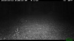 Raccoon at the Donkey Pasture (1/20) (Aspen Center for Environmental Studies) Tags: camera mammal colorado wildlife cam trail raccoon aspen aces omnivore trailcamera trailcam cameratrap wildlifecamera aspencenterforenvironmentalstudies