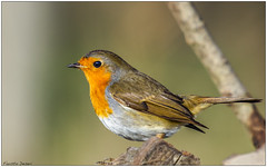 Pettirosso (Fausto Deseri) Tags: erithacusrubecula robin pettirosso sitodimanzolino wildlife nature birds wild oasiditivolimanzolino pentaxk3 pentaxfa300mmf45edif kenkotcaf15x