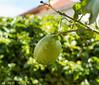 A Lemon. Kfar Hananya, Galilee