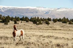 MalheurPaint-1 (David Renwald) Tags: juniper wildhorses mustangs wildmustangs painthorses seoregon steensmountains